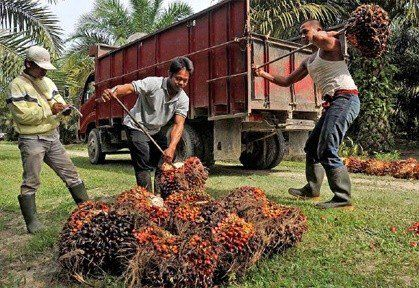 http://www.thejakartapost.com/news/2016/12/06/indonesias-palm-oil-certification-struggling-for-global-recognition.html #Deforestation #Forest #Oil #Indonesia #Rainforest #Orangutans #Food #Orangutan #Environment #Sustainable