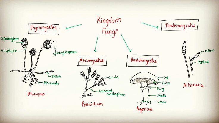 Topic: Kingdom Fungi (General Characteristics), 11th grade science-biology, by Avinash sir, www.mybiologynotes.com , #follow #amazing #fungi #kingdomfungi #mucor #rhizopus #albugo #aspergillus #penicillium #yeast #agaricus #alternaria #phycomycetes #ascomycetes #deuteromycetes #basidiomycetes #12thscience #11thscience #biology #botany #easyteaching #medicalentrance #jeeexam #mhcet #fb #fbpage #followforfollow