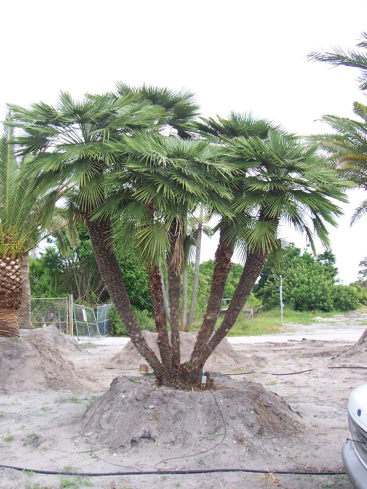 european fan palm pictures | European Fan Palms - Chamaerops humilis - Moving & Installation