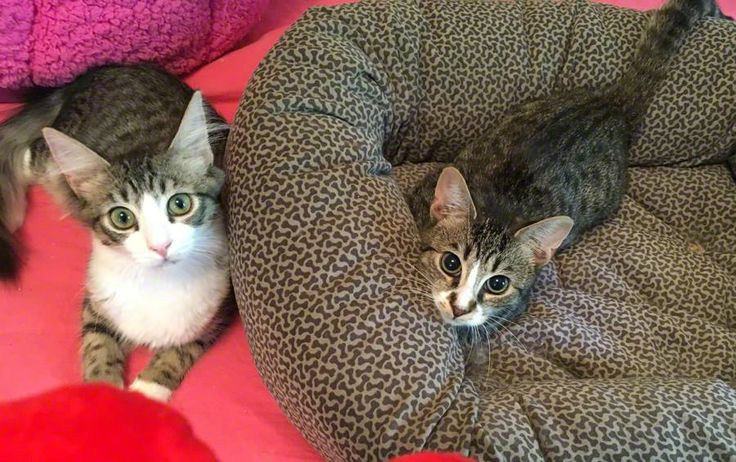 #FactFriday: This month we are supporting Kitten Associates, they are the new Breed of Cat #Rescue. #KittenAssociatesINC helps #cats like Mr Peabody&Herbie and these brothers are ready to find their forever home. Want to know more? Just pop over to www.kittenassociates.org and view the #Adopt page to see their full listing and to fill out a Pre-Adoption Application. #ModifiedDolls #NonProfit #SupportingCharities #RaisingAwareness #CatRescue #CharityOfTheMonth