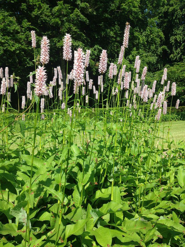Persicaria bistorta superba, duizendknoop, adderwortel, vaste plant, roze, voorjaar, in bloei, 40-80 cm hoog, half schaduw, bloeit in juni-juli