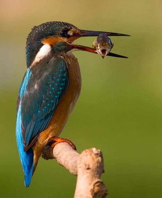 Wonderful - kingfisher - what a fabulous picture!