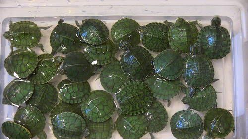 picture of male red slider baby tail   31 LOT OF BABY RED EARED SLIDERS $90   Chicago   eBay Classifieds ...