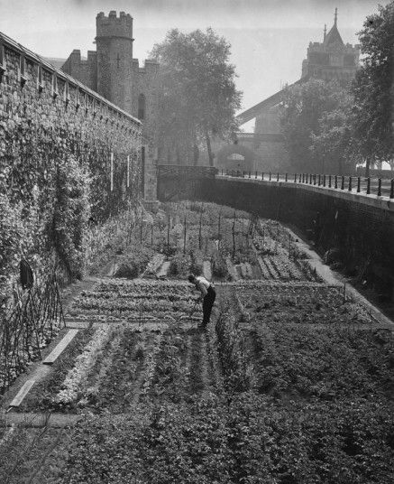 A gardener tending the vegetables growing in a moat at the Tower of London, June 1940.