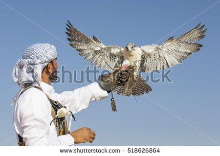 Dubai, UAE, November 19th, 2016: A falconer in traditional outfit, training a Peregrine Falcon (Falco Peregrinus)