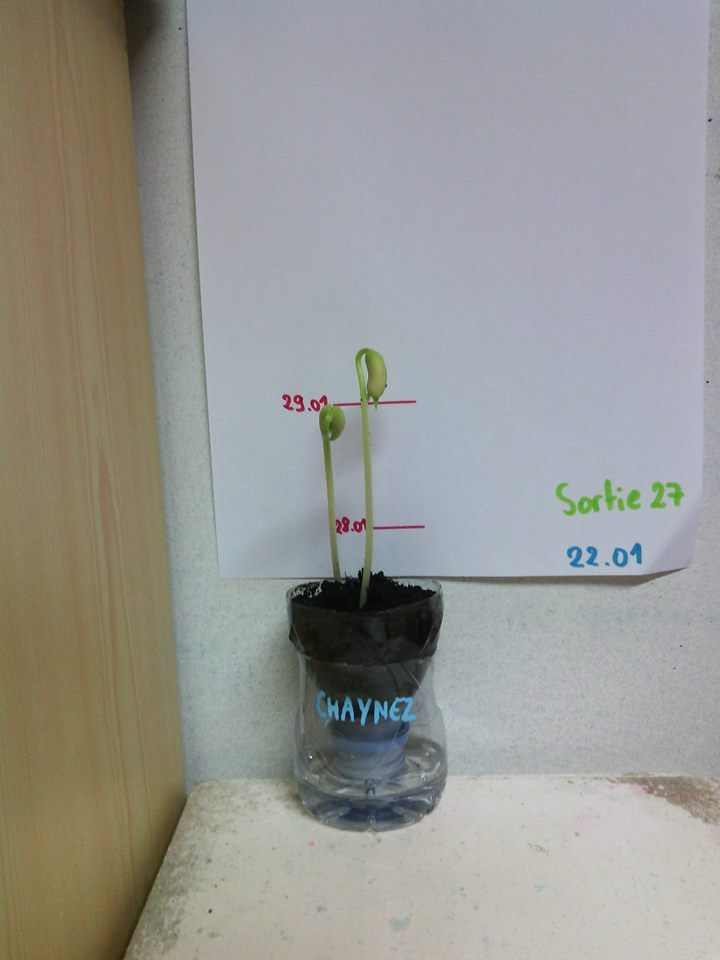 plantation haricot Oui petite bouteille coupée en 2 (en demander longtemps à l'avance aux parents) et bouchon avec du coton. Je l'ai déjà fait avec des petits pois, ça marche super bien aussi! Avec la toise ils se rendent vraiment compte de la croissance de la plante.