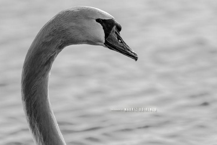 B&W Mute Swan by Maurizio Di Renzo on 500px