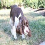 Las 10 Mejores Razas de Perros de Caza | Blog Perro -springer spaniel ingles