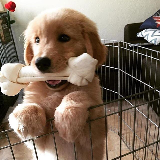 ~ PRETTY LARGE RAWHIDE CHEW FOR SUCH A YOUNG GOLDEN BUT APPEARS TO BE ENJOYING IT ~