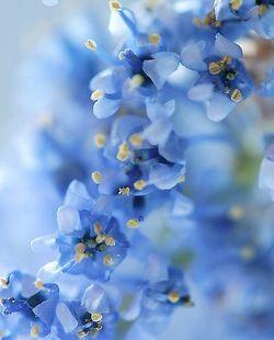 154 Best Flowers Blue Images On Pinterest Blue Flowers