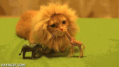 El gato león come la girafa