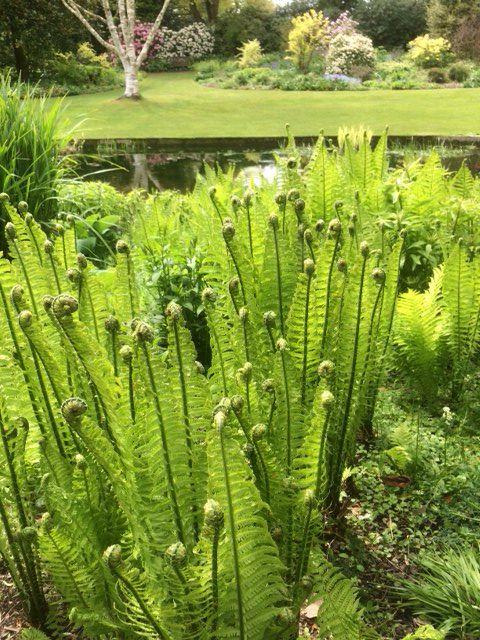 Stunning Shuttlecock ferns at Beth Chatto's garden
