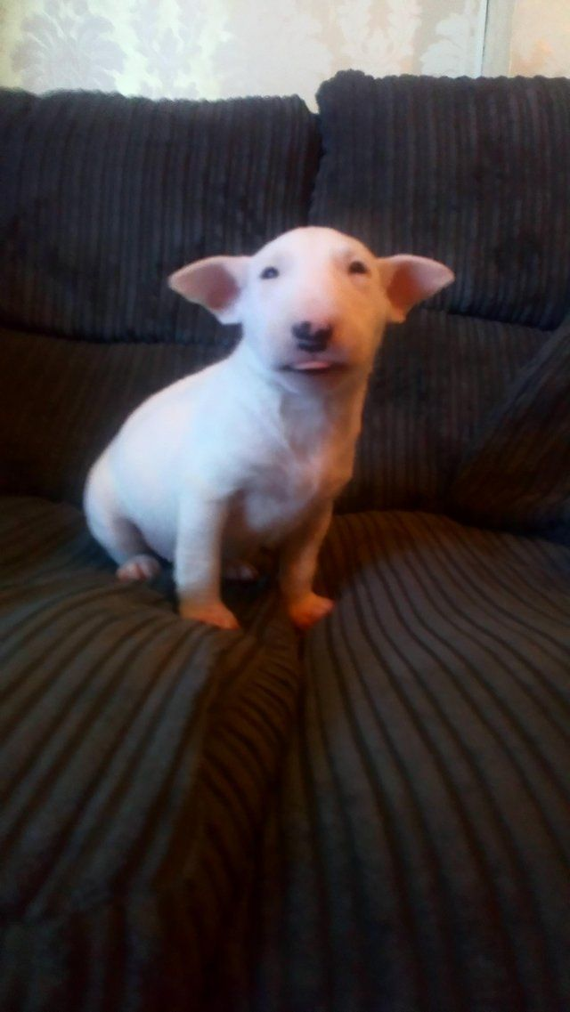 For Sale On Preloved English Bull Terrier Puppies For Sale We Have 4 Left 2 White One White Wit English Bull Terrier Puppy Bull Terrier Puppy Pitbull Terrier