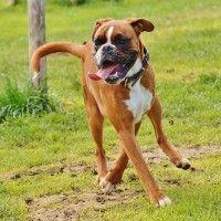 #dogalize Razas de Perros: Boxer caracteristicas y cuidados #dogs #cats #pets
