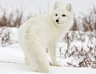 Arctic Fox, so pretty!   (KO) The furry white puffball of the frozen north. Good camouflage, warm coat, excellent hunter. Life is good for this guy. He's also beautiful. Helps him out with the ladies. Go foxy boy!