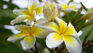 Bunga kamboja merupakan tanaman yang berasal dari daerah tropis seperti Amerika dan terdapat pula di daerah Afrika. Tanaman Kamboja dikategorikan sebagai salah satu tanaman hias.