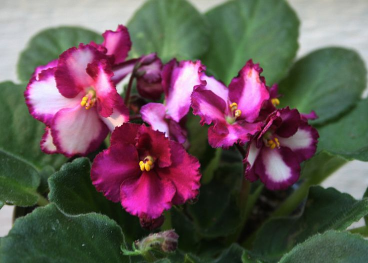 African Violet Optimara Harlequin - no longer a NOID! I almost lost it to mites but it has come back pretty well. I should put some leaves down soon.