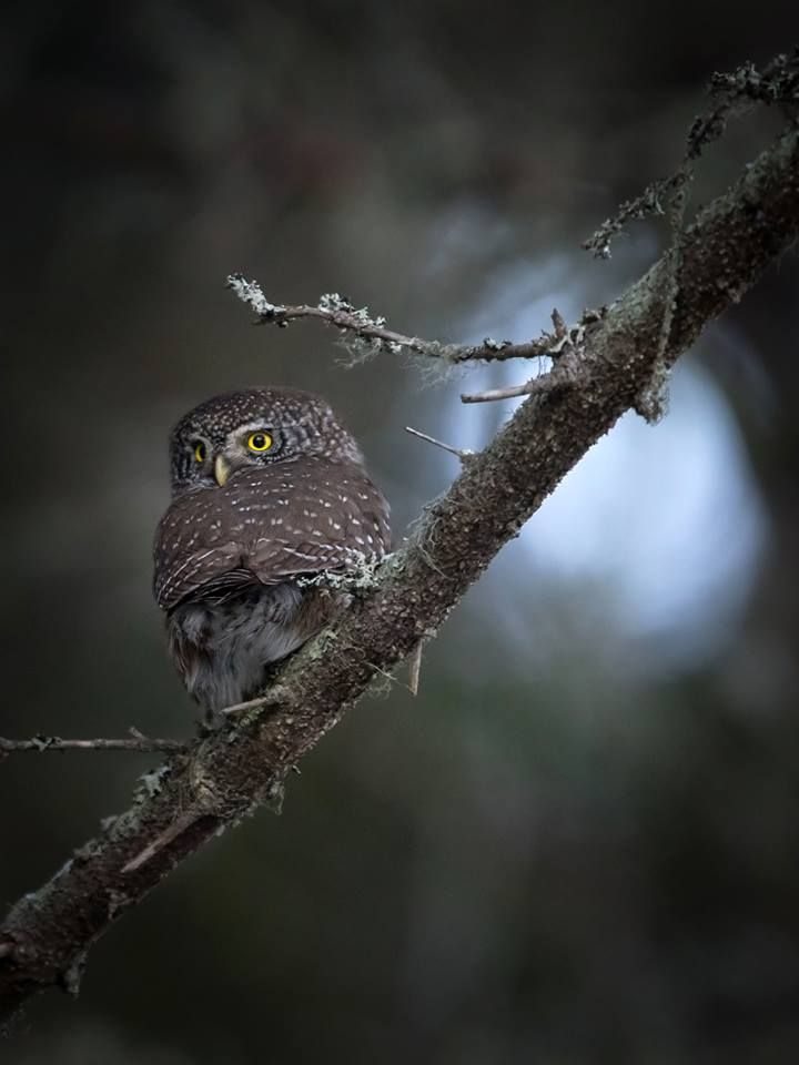Eurasian pygmy owls weigh only 60g, but they fear nothing. https://www.facebook.com/torpedoowl