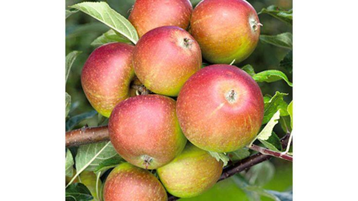 Die beliebtesten alten Apfelsorten   Holsteiner Cox - Herbstapfel