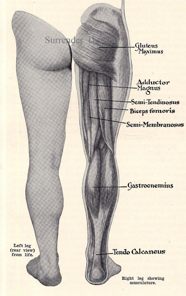 The 25 best leg muscles anatomy ideas on pinterest leg muscles leg muscles posterior human anatomy 1933 ccuart Image collections