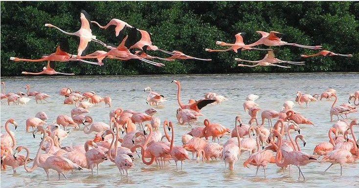 riviera maya birds images | flamingos in Rio Lagartos Riviera maya tours and Riviera Maya birds