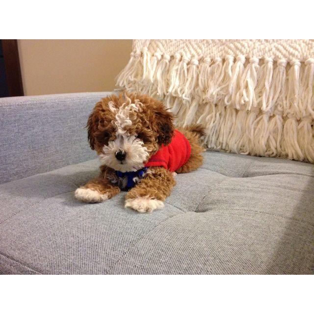 Maltipoo Puppy.... Winston's mini me