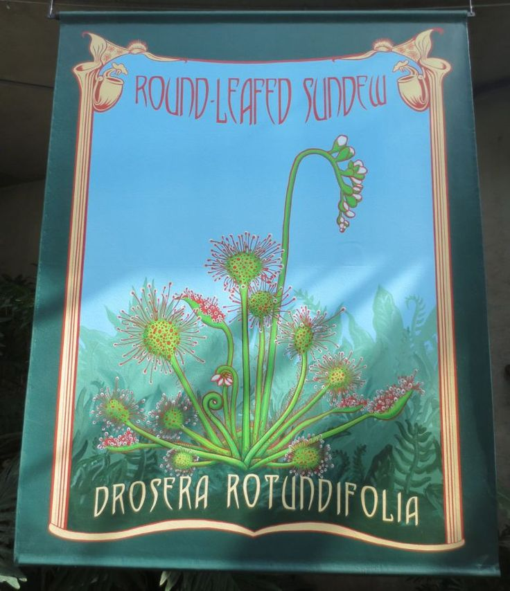 Sundew drosera poster Savage Gardens exhibit carnivorous plants San Antonio Botanical Garden Texas