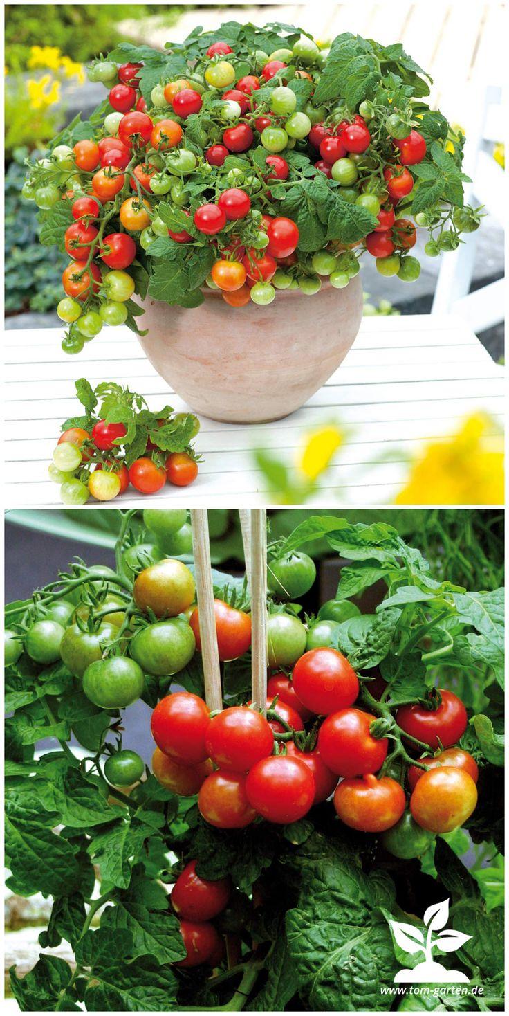 Mit der kompakten #Tomate 'Primabell' könnt ihr leckere Früchte direkt vom #Balkon naschen – den ganzen #Sommer lang #urbangardening #garten Gefunden auf www.tom-garten.de