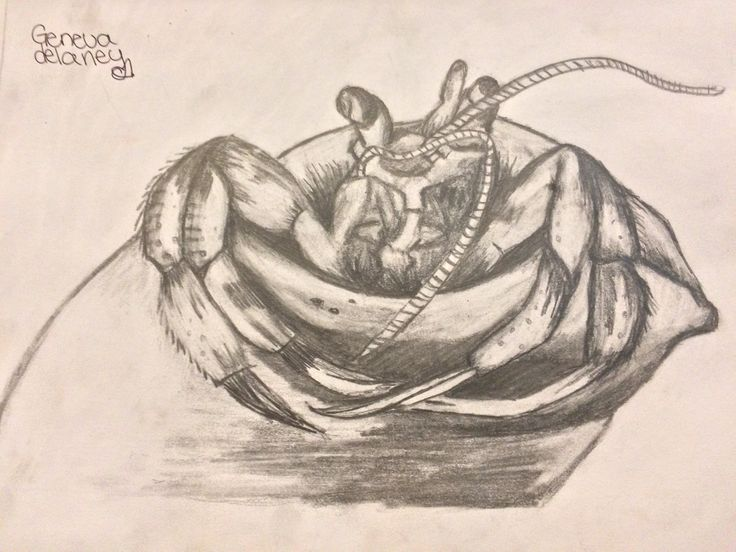 •Hermit crab pencil drawing •