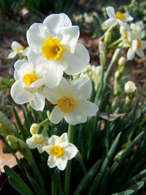 Sweet daffodils that I snapped a pic of one fine spring day - you can see more of my pics on Flickr (click the photo)   . . . .   ღTrish W ~ http://www.pinterest.com/trishw/  . . . .    #spring #flower #daffodil