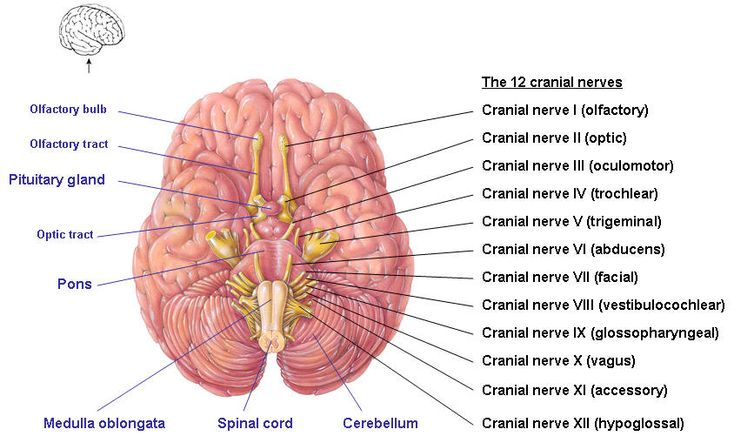 12 Nerves In Brain Images