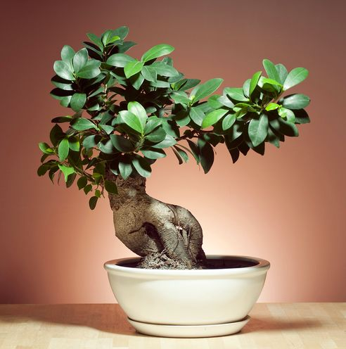 different types of indoor bonsai trees different types