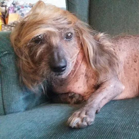 Himisaboo  contestant inThe ugliest dog contest . He has a Trump hairdo .