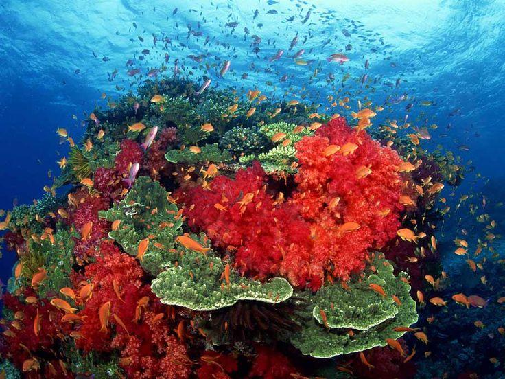 Кораллы, коралловый риф картинки, фото, видео