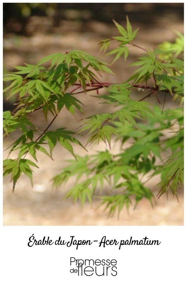 17 best ideas about arbuste japonais on pinterest bonsai - Comment tailler un erable ...