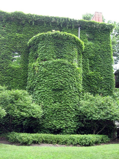 Ivy Covered Building circa U. of Chicago