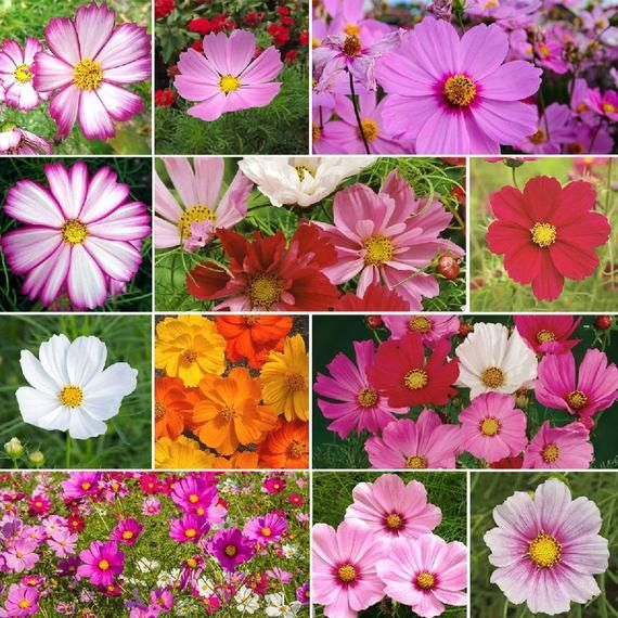 300 Crazy For Cosmos Cosmos Flower Seed Mix 10 Types Usa Etsy In 2020 Flower Seeds Cosmos Flowers Wildflower Seeds