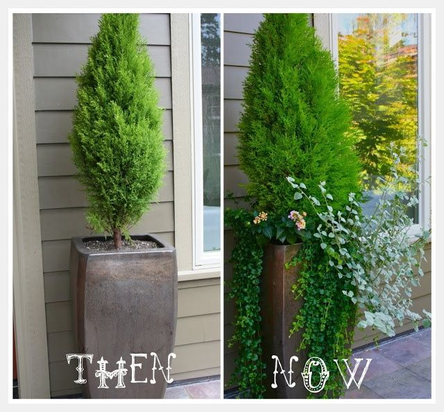 tall potted shrubs in containers
