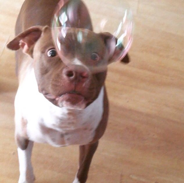 Neeko the Pitbull