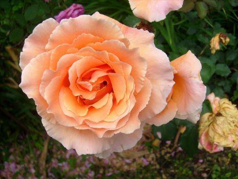 Lubošova růže (48 pieces)