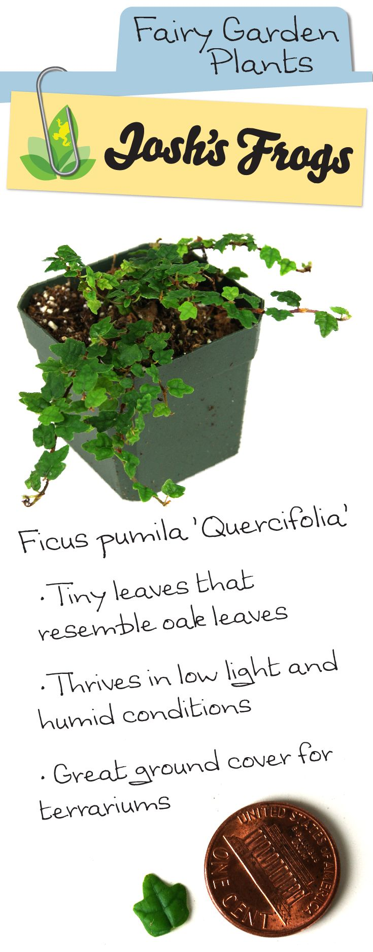 Ficus pumila 'Quercifolia' is a great plant for fairy gardens or terrariums. Buy at Josh's Frogs for just $4.99!