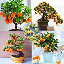 40 / мешок бонсай деревья оранжевый органические семена саженцев фруктовых деревьев для очень больших и вкусных плантаторов горшки (Китай (материк))