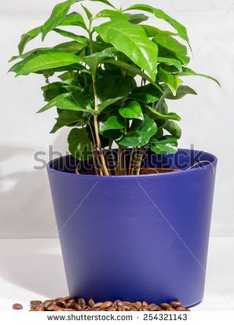 Small Coffee Tree A potted plant isolated on white