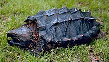 he alligator snapping turtle (Macrochelys temminckii) is the largest freshwater turtle in the world based on weight. It is often associated with, but not closely related to, the common snapping turtle, which are in the genus Chelydra.