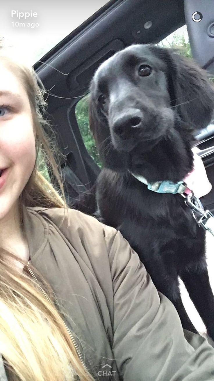 Flat coat retriever puppy 19 weeks