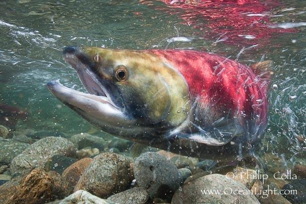 Photo of Adams River sockeye salmon.  A female sockeye salmon swims upstream in the Adams…