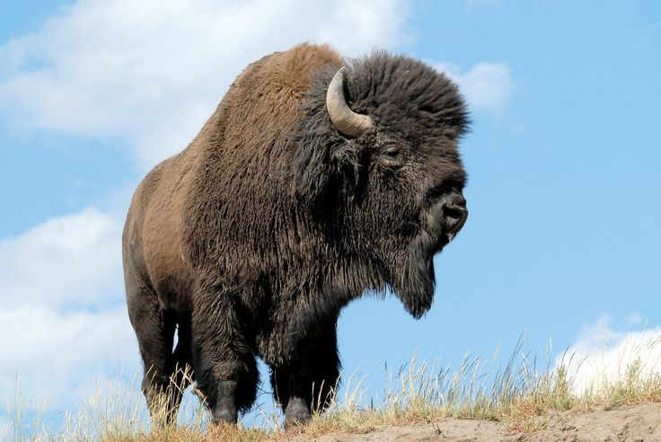 Two hundred years ago, anywhere from 30 to 70 million bison, or buffalo, roamed free in North America. The aboriginal people who lived on the Great Plains relied on these wild mammals for food, clothing, and shelter. During the late 1800s, commercial hide hunters, settlers, and thrill seekers shot literally millions of bison. This killing spree brought the species to the verge of extinction and opened up the prairies for agriculture.