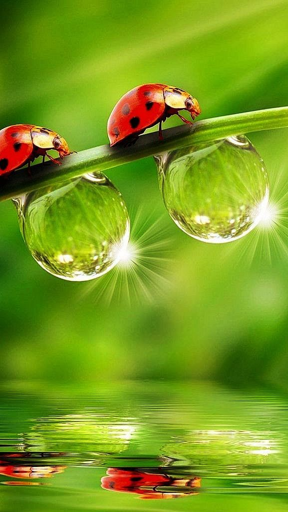 """Ladybirds and dewdrops reflected below ~ this sure does put on a colorful spring show!"" (Written By: Lynn Chateau.)"
