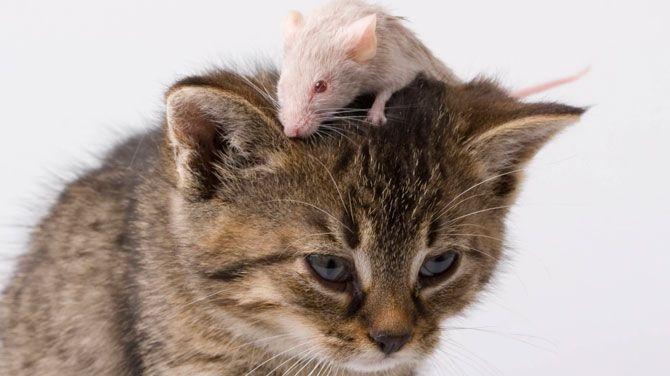 Katten manipuleren muizen met hun urine