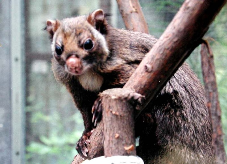 Japanese Giant Flying Squirrel Animals Of Japan Pinterest